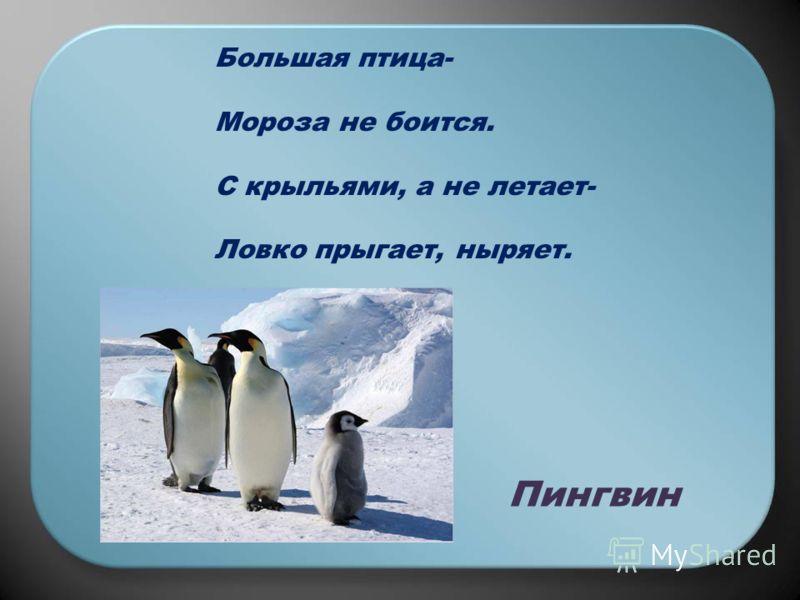 Большая птица- Мороза не боится. С крыльями, а не летает- Ловко прыгает, ныряет. Пингвин