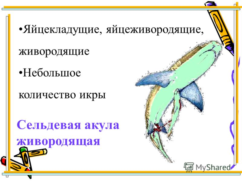 Сельдевая акула живородящая Яйцекладущие, яйцеживородящие, живородящие Небольшое количество икры