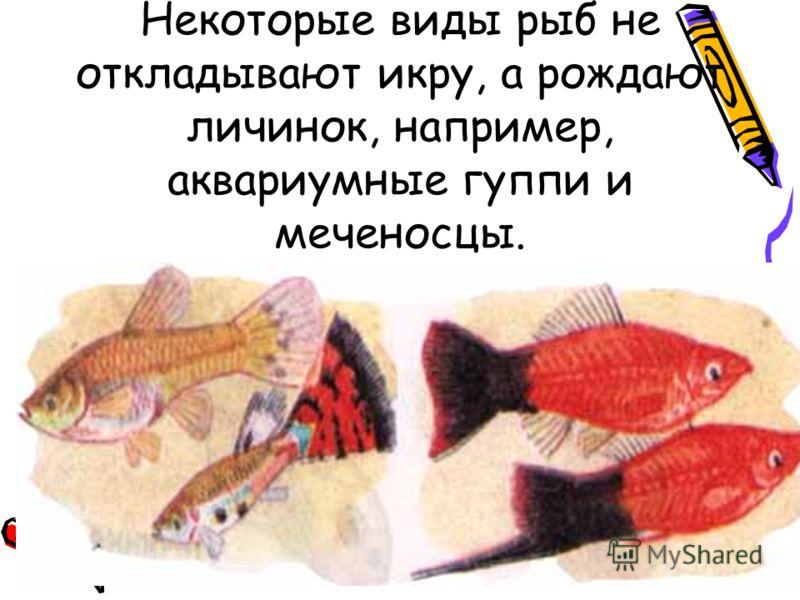 Некоторые виды рыб не откладывают икру, а рождают личинок, например, аквариумные гуппи и меченосцы.