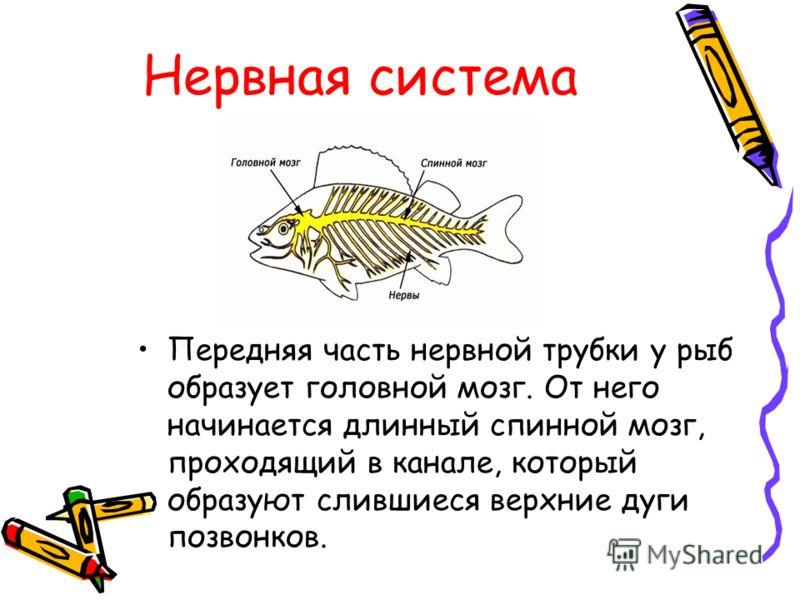 Нервная система Передняя часть нервной трубки у рыб образует головной мозг. От него начинается длинный спинной мозг, проходящий в канале, который образуют слившиеся верхние дуги позвонков.