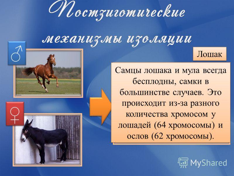 Лошак Самцы лошака и мула всегда бесплодны, самки в большинстве случаев. Это происходит из-за разного количества хромосом у лошадей (64 хромосомы) и ослов (62 хромосомы).