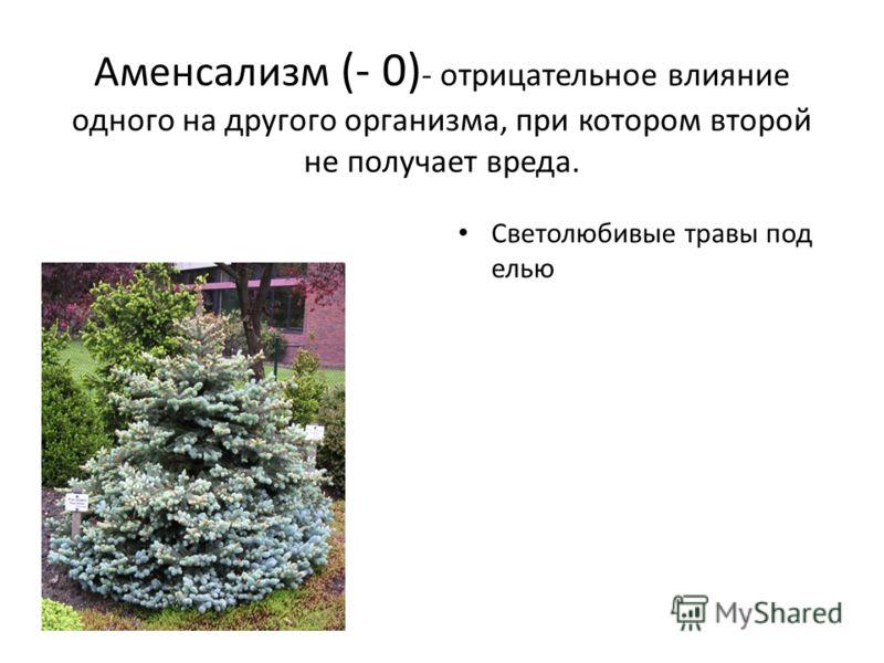 Аменсализм (- 0) - отрицательное влияние одного на другого организма, при котором второй не получает вреда. Светолюбивые травы под елью