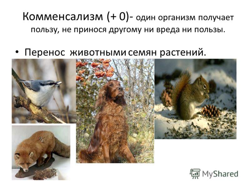 Комменсализм (+ 0)- один организм получает пользу, не принося другому ни вреда ни пользы. Перенос животными семян растений.