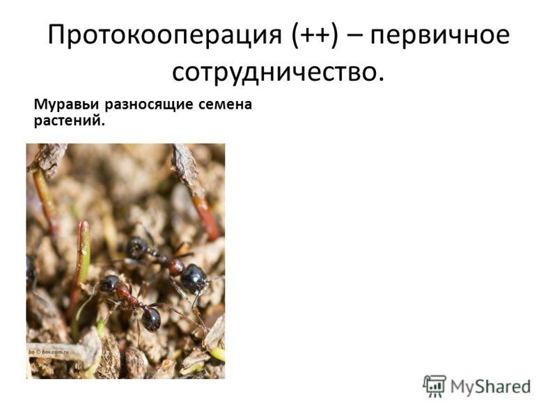 Протокооперация (++) – первичное сотрудничество. Муравьи разносящие семена растений.