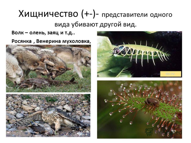 Хищничество (+-)- представители одного вида убивают другой вид. Волк – олень, заяц и т.д.. Росянка, Венерина мухоловка,