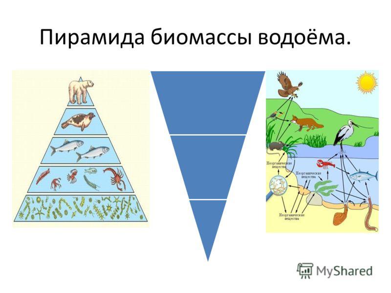 Пирамида биомассы водоёма.