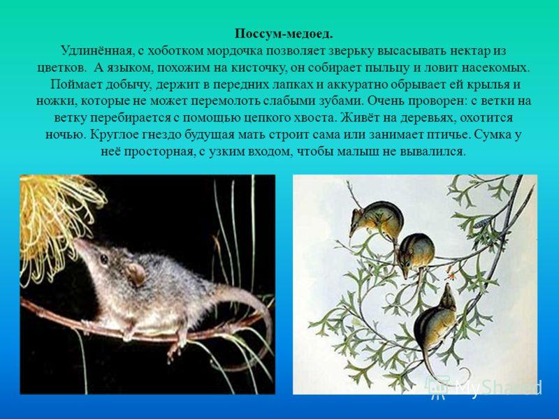 Поссум-медоед. Удлинённая, с хоботком мордочка позволяет зверьку высасывать нектар из цветков. А языком, похожим на кисточку, он собирает пыльцу и ловит насекомых. Поймает добычу, держит в передних лапках и аккуратно обрывает ей крылья и ножки, котор