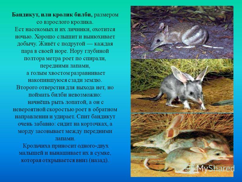 Бандикут, или кролик билби, размером со взрослого кролика. Ест насекомых и их личинки, охотится ночью. Хорошо слышит и вынюхивает добычу. Живёт с подругой каждая пара в своей норе. Нору глубиной полтора метра роет по спирали, передними лапами, а голы