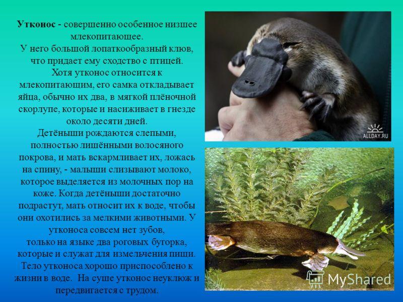 Утконос - совершенно особенное низшее млекопитающее. У него большой лопаткообразный клюв, что придает ему сходство с птицей. Хотя утконос относится к млекопитающим, его самка откладывает яйца, обычно их два, в мягкой плёночной скорлупе, которые и нас