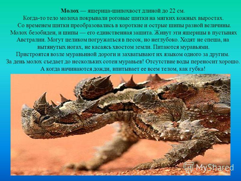 Молох ящерица-шипохвост длиной до 22 см. Когда-то тело молоха покрывали роговые щитки на мягких кожных выростах. Со временем щитки преобразовались в короткие и острые шипы разной величины. Молох безобиден, и шипы его единственная защита. Живут эти ящ