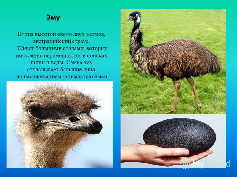 Эму Птица высотой около двух метров, австралийский страус. Живёт большими стадами, которые постоянно перемещаются в поисках пищи и воды. Самка эму откладывает большие яйца, но насиживанием занимается самец.