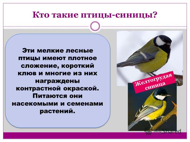 Кто такие птицы-синицы? Эти мелкие лесные птицы имеют плотное сложение, короткий клюв и многие из них награждены контрастной окраской. Питаются они насекомыми и семенами растений. Желтогрудая синица