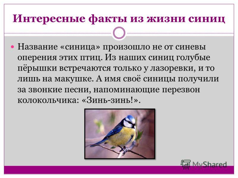 Интересные факты из жизни синиц Название «синица» произошло не от синевы оперения этих птиц. Из наших синиц голубые пёрышки встречаются только у лазоревки, и то лишь на макушке. А имя своё синицы получили за звонкие песни, напоминающие перезвон колок