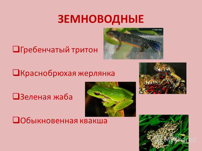 ЗЕМНОВОДНЫЕ Гребенчатый тритон Краснобрюхая жерлянка Зеленая жаба Обыкновенная квакша