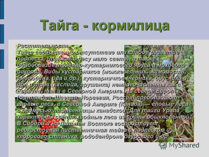 Тайга - кормилица Растительность Тайге свойственно отсутствие или слабое развитие подлеска (так как в лесу мало света), а также однообразие травяно-кустарникового яруса и мохового покрова. Виды кустарников (можжевельник, жимолость, смородина, ива и д