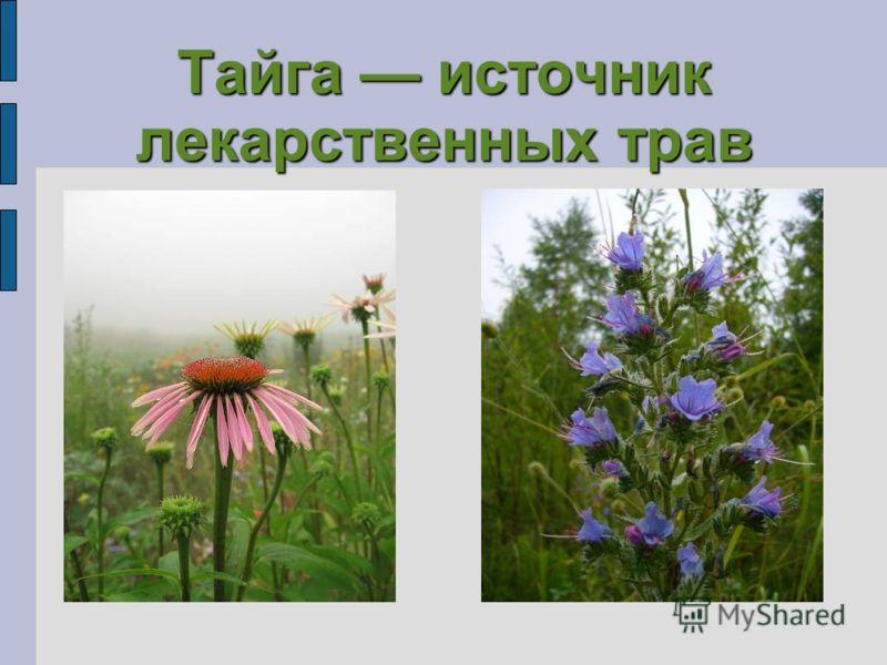 Тайга источник лекарственных трав