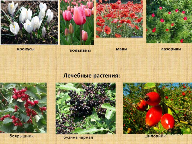 крокусы тюльпаны макилазорики Лечебные растения: боярышник бузина чёрная шиповник