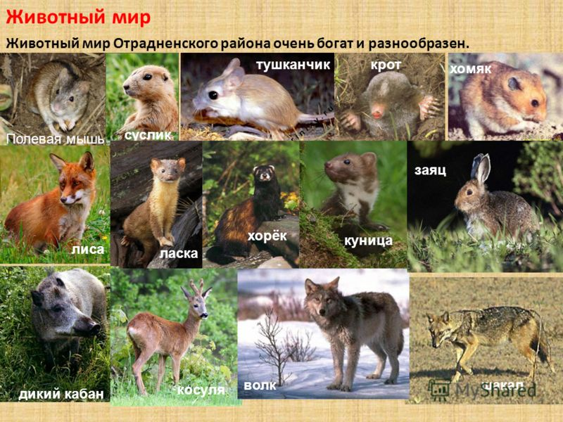 Животный мир Животный мир Отрадненского района очень богат и разнообразен. Полевая мышь суслик тушканчиккрот хомяк лиса ласка хорёк дикий кабан косуля куница шакалволк заяц