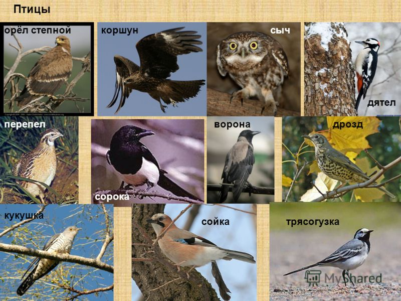 Птицы орёл степнойкоршунсыч дятел перепел сорока воронадрозд кукушка сойкатрясогузка