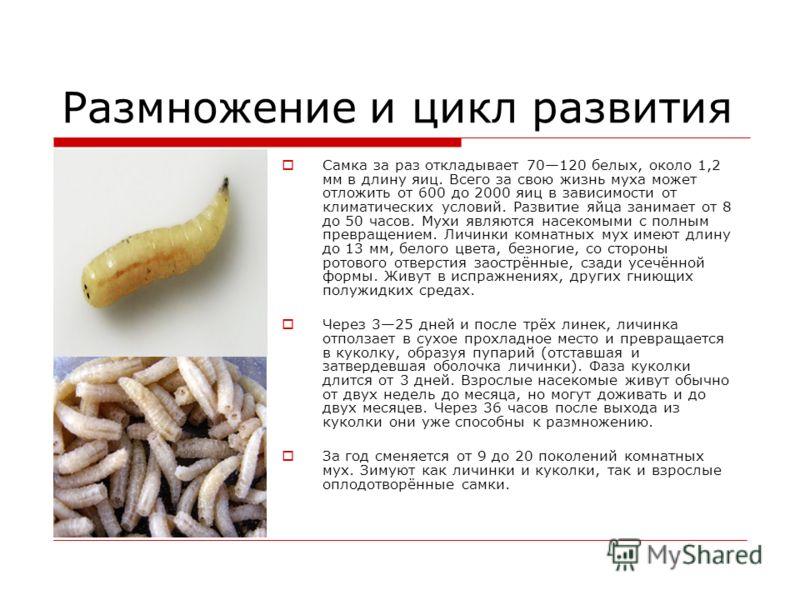 Размножение и цикл развития Самка за раз откладывает 70120 белых, около 1,2 мм в длину яиц. Всего за свою жизнь муха может отложить от 600 до 2000 яиц в зависимости от климатических условий. Развитие яйца занимает от 8 до 50 часов. Мухи являются насе