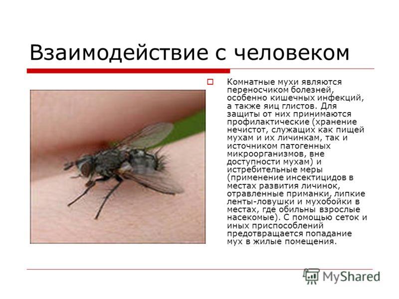 Взаимодействие с человеком Комнатные мухи являются переносчиком болезней, особенно кишечных инфекций, а также яиц глистов. Для защиты от них принимаются профилактические (хранение нечистот, служащих как пищей мухам и их личинкам, так и источником пат