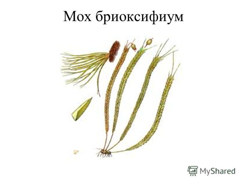 Мох бриоксифиум