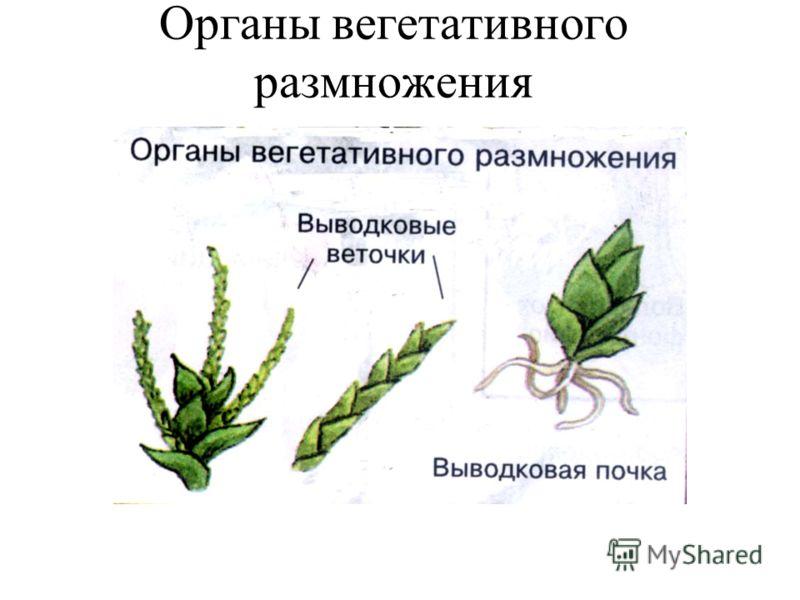 Органы вегетативного размножения