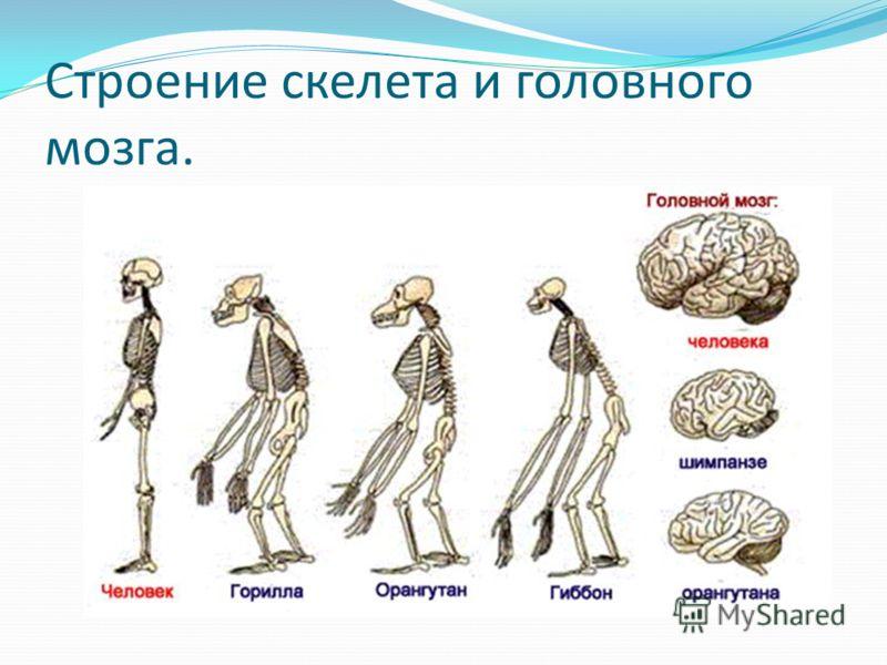 Строение скелета и головного мозга.