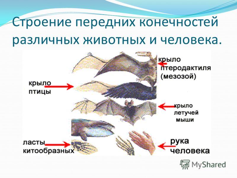 Строение передних конечностей различных животных и человека.