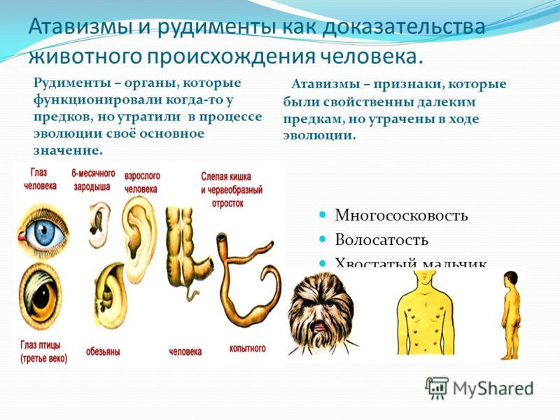 Атавизмы и рудименты как доказательства животного происхождения человека. Рудименты – органы, которые функционировали когда-то у предков, но утратили в процессе эволюции своё основное значение. Атавизмы – признаки, которые были свойственны далеким пр