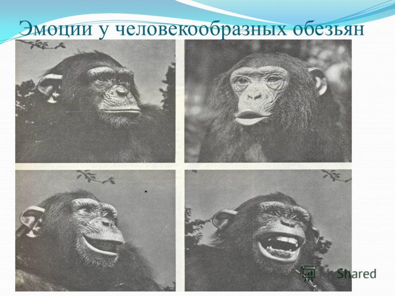 Эмоции у человекообразных обезьян