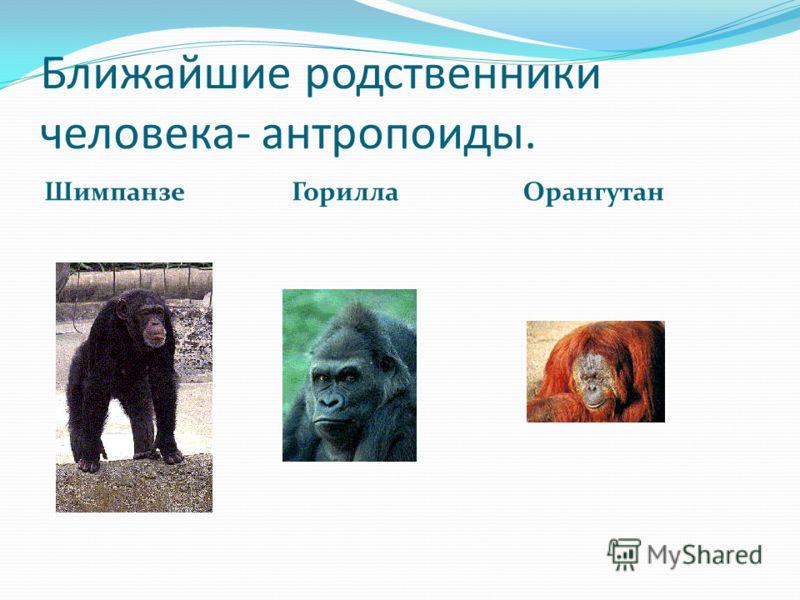 Ближайшие родственники человека- антропоиды. Шимпанзе ГориллаОрангутан