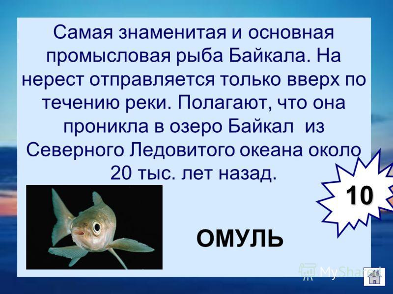 Самая знаменитая и основная промысловая рыба Байкала. На нерест отправляется только вверх по течению реки. Полагают, что она проникла в озеро Байкал из Северного Ледовитого океана около 20 тыс. лет назад. ОМУЛЬ 10