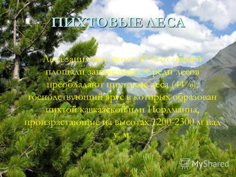 ПИХТОВЫЕ ЛЕСА Леса занимают около 57% от общей площади заповедника. Среди лесов преобладают пихтовые леса (44%), господствующий ярус в которых образован пихтой кавказской или Нордманна, произрастающие на высотах 1200-2300 м над у. м.