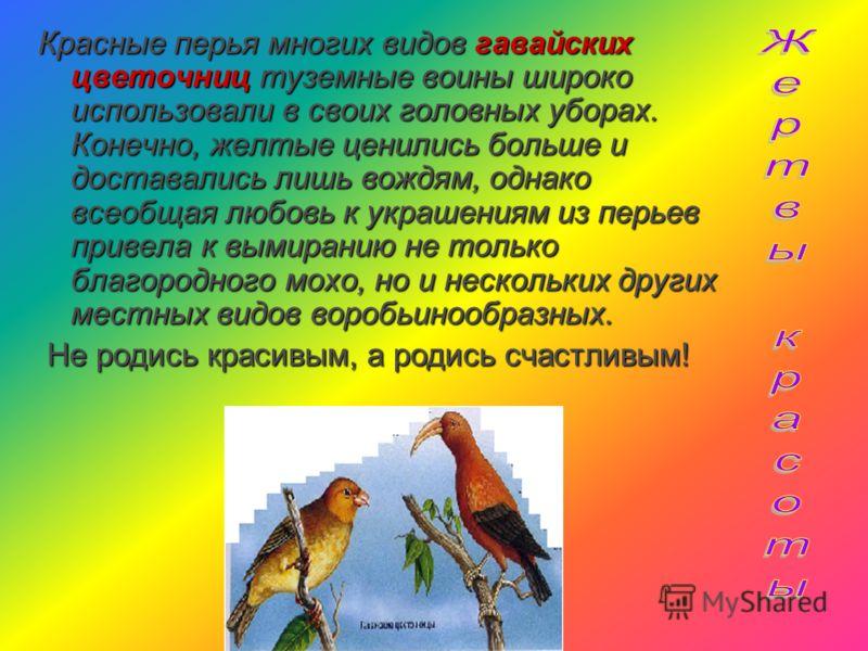 Бока благородного мохо (1) покрывали ярко- желтые перья. Именно их красота погубила сотни этих гавайских птиц! Этими перышками украшали свои праздничные головные уборы местные вожди. Чем главнее вождь, тем пышнее наряд. За этих пернатых туземцы плати