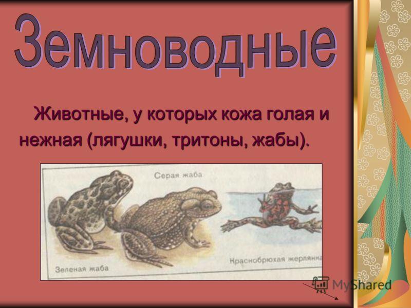 Животные, у которых кожа голая и нежная (лягушки, тритоны, жабы).