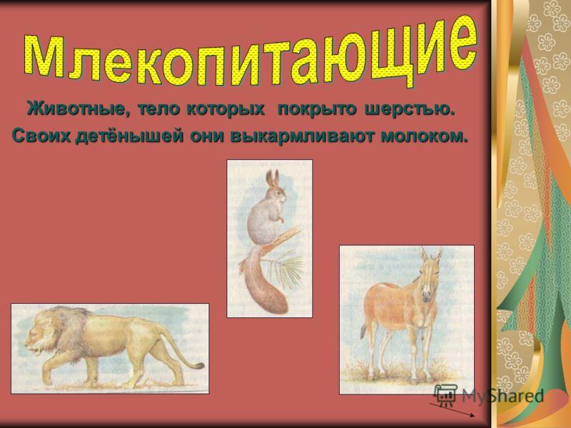 Животные, тело которых покрыто шерстью. Своих детёнышей они выкармливают молоком. Своих детёнышей они выкармливают молоком.