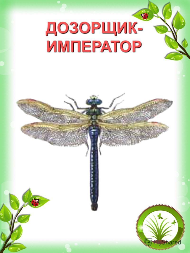 ДОЗОРЩИК- ИМПЕРАТОР