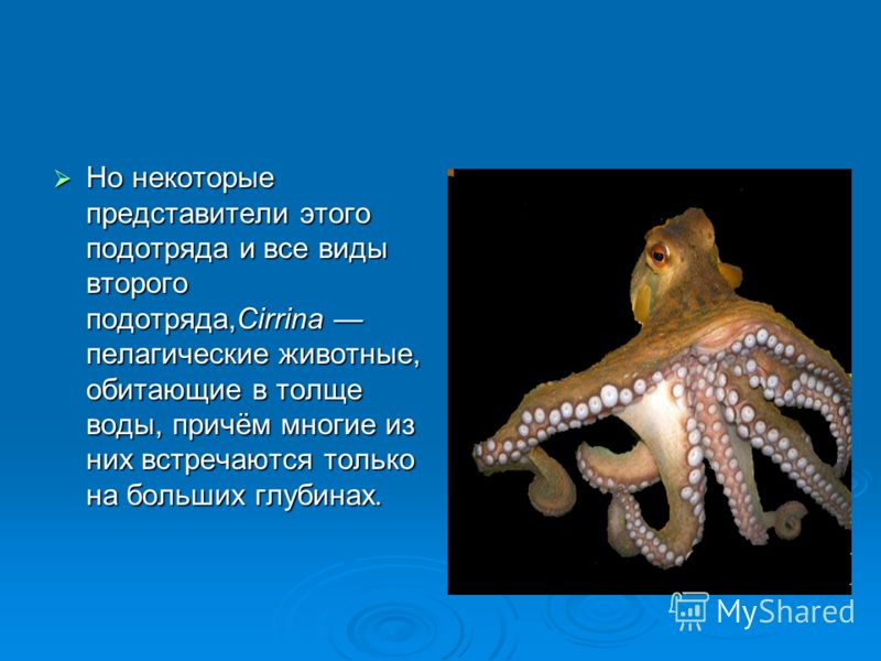 Но некоторые представители этого подотряда и все виды второго подотряда,Cirrina пелагические животные, обитающие в толще воды, причём многие из них встречаются только на больших глубинах. Но некоторые представители этого подотряда и все виды второго