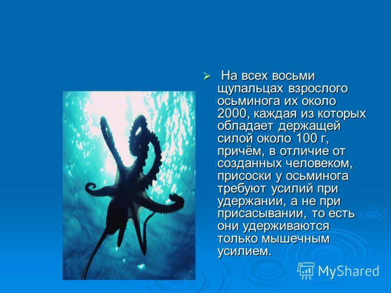 На всех восьми щупальцах взрослого осьминога их около 2000, каждая из которых обладает держащей силой около 100 г, причём, в отличие от созданных человеком, присоски у осьминога требуют усилий при удержании, а не при присасывании, то есть они удержив