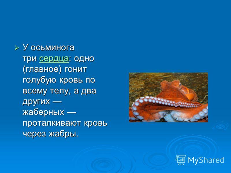 У осьминога три сердца: одно (главное) гонит голубую кровь по всему телу, а два других жаберных проталкивают кровь через жабры. У осьминога три сердца: одно (главное) гонит голубую кровь по всему телу, а два других жаберных проталкивают кровь через ж