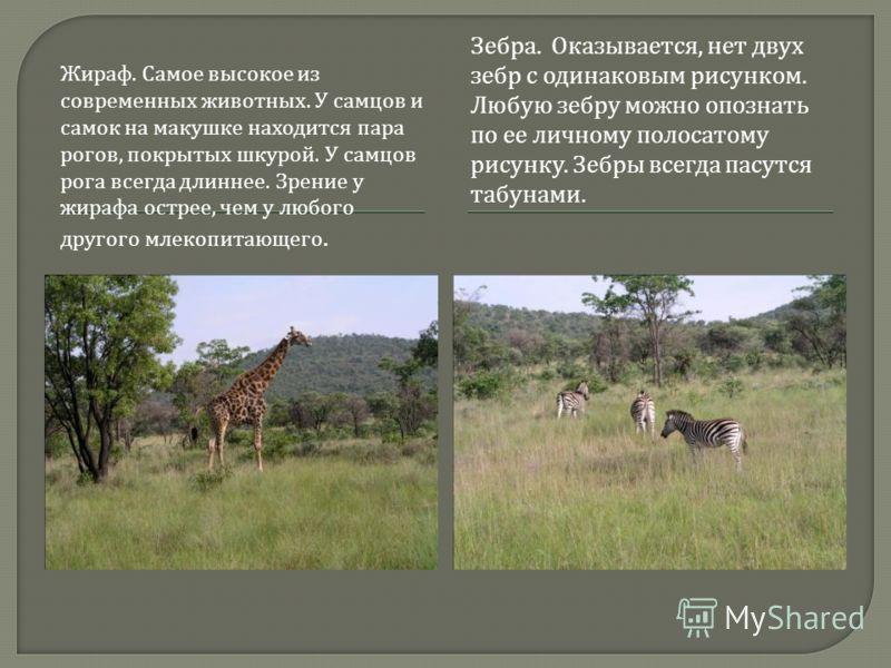 Жираф. Самое высокое из современных животных. У самцов и самок на макушке находится пара рогов, покрытых шкурой. У самцов рога всегда длиннее. Зрение у жирафа острее, чем у любого другого млекопитающего. Зебра. Оказывается, нет двух зебр с одинаковым