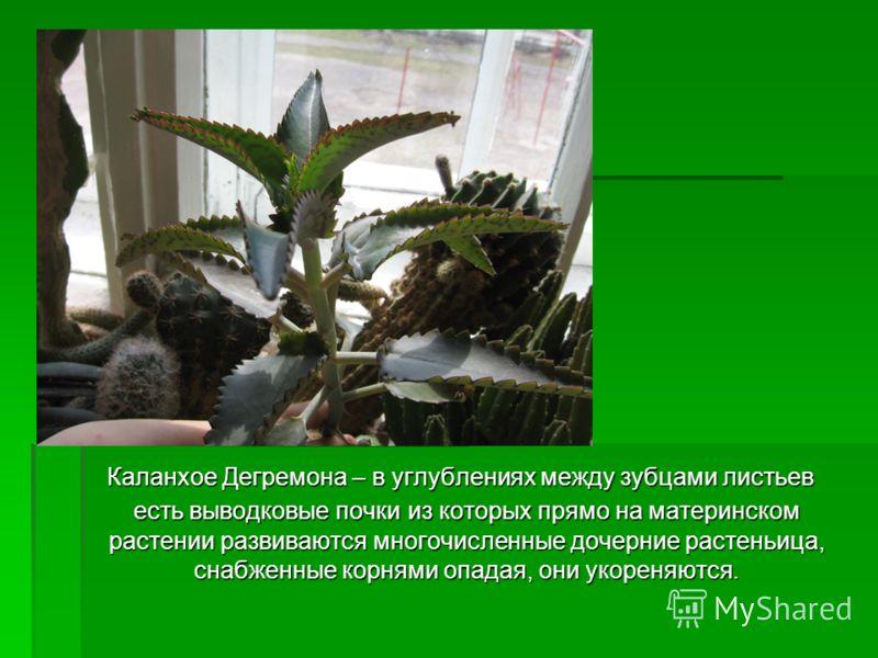 Каланхое Дегремона – в углублениях между зубцами листьев есть выводковые почки из которых прямо на материнском растении развиваются многочисленные дочерние растеньица, снабженные корнями опадая, они укореняются. Каланхое Дегремона – в углублениях меж