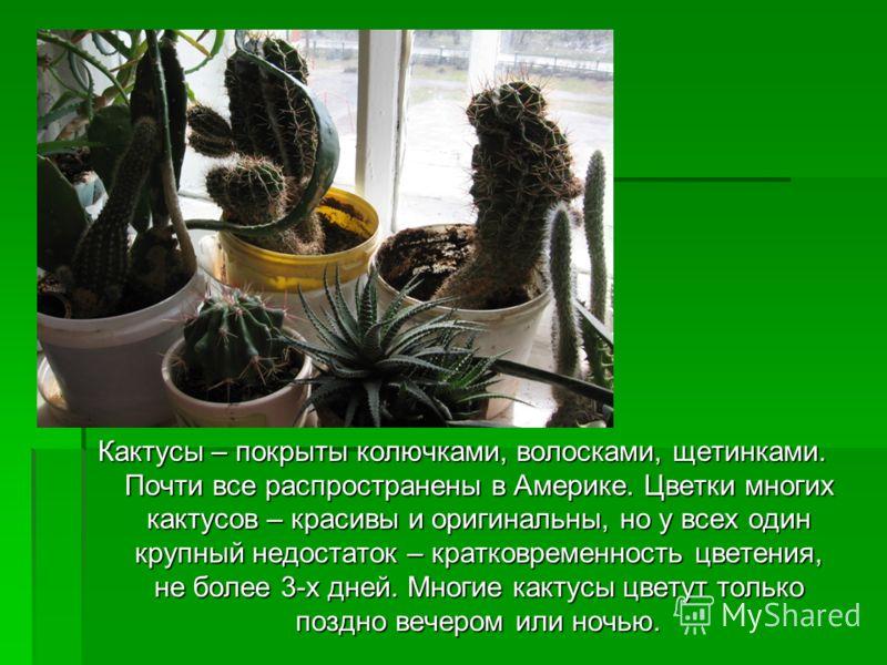 Кактусы – покрыты колючками, волосками, щетинками. Почти все распространены в Америке. Цветки многих кактусов – красивы и оригинальны, но у всех один крупный недостаток – кратковременность цветения, не более 3-х дней. Многие кактусы цветут только поз