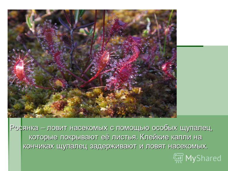Росянка – ловит насекомых с помощью особых щупалец, которые покрывают её листья. Клейкие капли на кончиках щупалец задерживают и ловят насекомых.