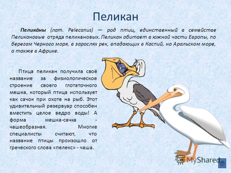 Пеликан Птица пеликан получила своё название за физиологическое строение своего глотаточного мешка, который птица использует как сачок при охоте на рыб. Этот удивительный резервуар способен вместить целое ведро воды! А форма мешка-сачка - чашеобразна