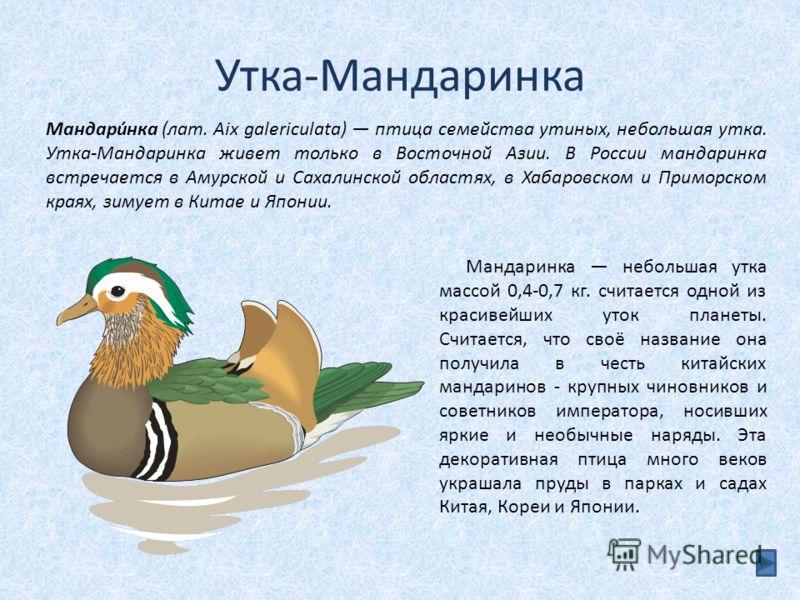 Утка-Мандаринка Мандаринка небольшая утка массой 0,4-0,7 кг. считается одной из красивейших уток планеты. Считается, что своё название она получила в честь китайских мандаринов - крупных чиновников и советников императора, носивших яркие и необычные