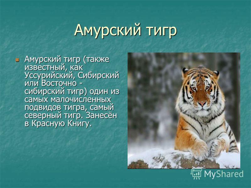 Амурский тигр Амурский тигр (также известный, как Уссурийский, Сибирский или Восточно - сибирский тигр) один из самых малочисленных подвидов тигра, самый северный тигр. Занесён в Красную Книгу. Амурский тигр (также известный, как Уссурийский, Сибирск