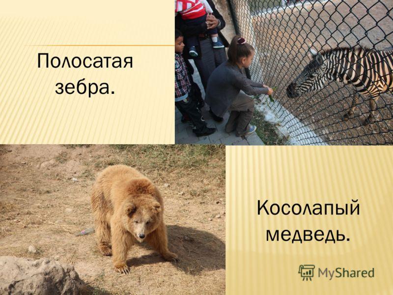 Полосатая зебра. Косолапый медведь.