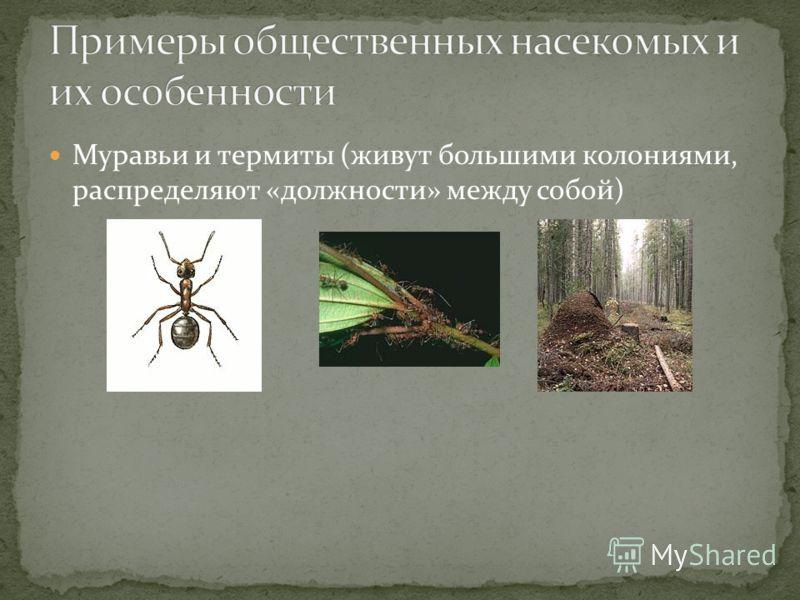 Муравьи и термиты (живут большими колониями, распределяют «должности» между собой)